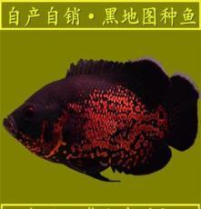 熱帶魚觀賞魚活體地圖魚中小型觀賞魚 25~30公分漁場大量批發
