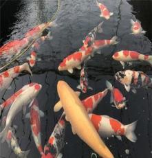 華鯉錦鯉漁場 直銷批發 純種日本錦鯉 血統純正 精品紅白錦鯉