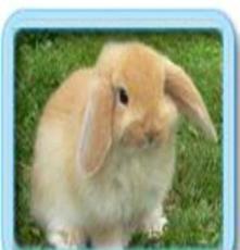 批發寵物兔,荷蘭垂耳兔 紫灰侏儒兔--紫灰色垂耳兔 疫苗已打