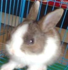 純種寵物兔 垂耳兔西施兔道奇兔 廠家批發 各種花色 健康可愛
