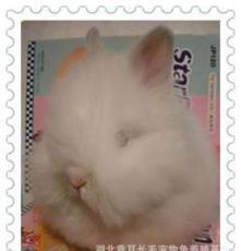 純種荷蘭垂耳兔 寵物兔 道奇兔 侏儒兔 獅子兔 海棠兔 全國批發
