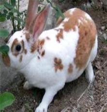 肉兔、獺兔兔子、兔子的價格