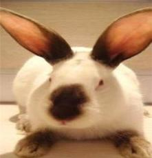 種公兔 體大 精子多活力強