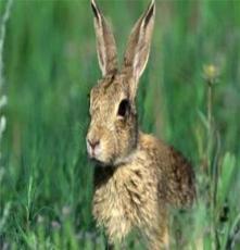 野兔商品兔 鴻基兔業