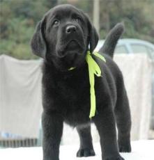 純種巴哥犬市場 杭州寵物狗市場