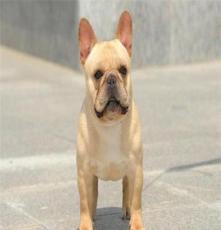 純種泰迪價格及圖片 杭州寵物狗店