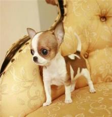純種柯基犬市場 杭州寵物狗市場