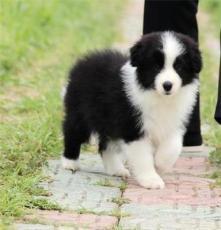杭州純種德國牧羊犬價格
