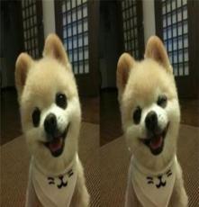 純種哈士奇市場 杭州寵物狗