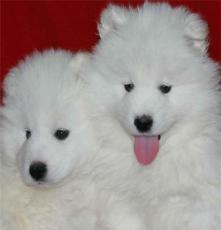 純種比格犬價格 杭州寵物狗價格