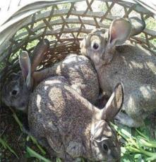 傳授比利時兔子散養技術
