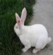 四川重慶肉兔最新行情