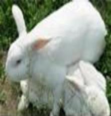 四川肉兔養殖