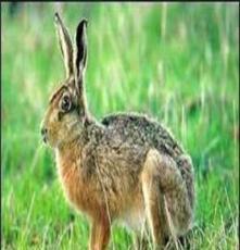 河北野兔市場