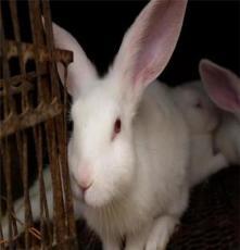 美系獺兔  德系獺兔  法系獺兔   青紫藍肉兔獺兔   肉兔
