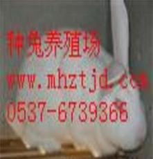 供应獭兔养殖,种兔价格