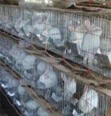 供應如:獺兔場野兔價格肉兔場行情