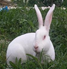 供應肉兔場肉兔價格獺兔養殖前景
