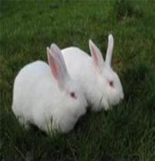 供應伊普呂肉兔公兔