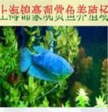 北京布隆迪皇冠六間魚批發價格/報價/供應商/錦豪供