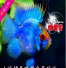 上海血鸚鵡魚批發價格/上海血鸚鵡魚供應商/錦豪供報價