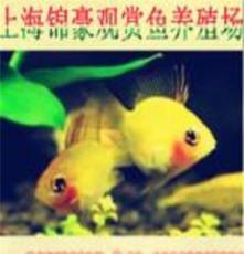 上海玻璃彩旗魚批發價格/上海玻璃彩旗魚報價/錦豪供
