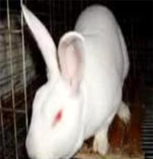 野兔;獺兔