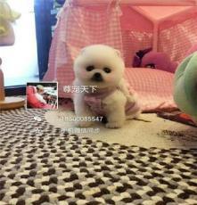 北京朝陽供應 哈多利球體博美 金毛犬 拉布拉多等幼犬