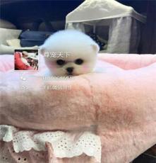 北京朝陽出售拉布拉多  博美  金毛 等幼犬