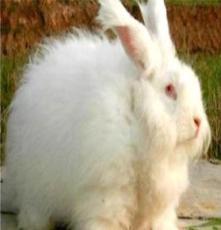 棗莊安哥拉長毛兔價格-濟南安哥拉長毛兔報價