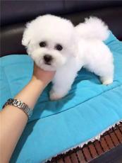 上海哪有比熊卖正规狗场在什么地方