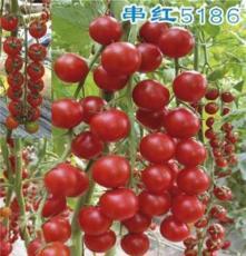 百色西紅柿 田陽西紅柿