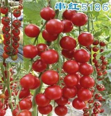 百色小番茄 百色圣女果 百色西紅柿大量供應