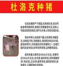 鄭州原種太湖母豬價格滿10頭送1頭公豬