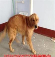 興平薩摩耶犬,拉布拉多犬市場批發養殖技術