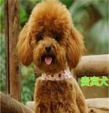 梅江區獵犬.土耳其曼犬.杜高犬技術員服務 品種優良