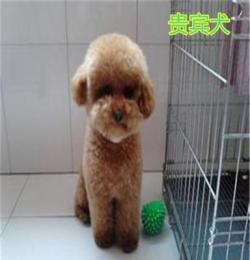 巴東薩摩耶犬,拉布拉多犬價格低廉,優質質量