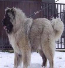 資興狼青犬.羅威納犬.牧羊犬優質供應商,價格優惠