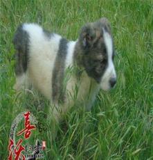 鐵西區中亞牧羊犬小狗圖片