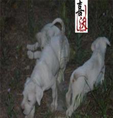 吳中區中亞牧羊犬小狗圖片