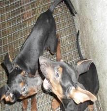 精品萊州紅犬農村專業養殖