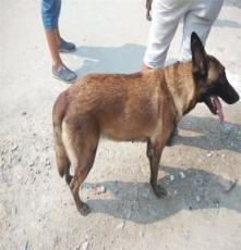 撫州杜高二個月以上犬出售,杜高視頻觀看