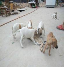 綏化杜高出售價格,白色的杜高好,訓練杜高技巧