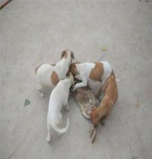 大連杜高小幼犬價格,杜高品種,成年杜高