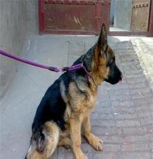 南寧杜高二個月以上犬出售,杜高視頻觀看