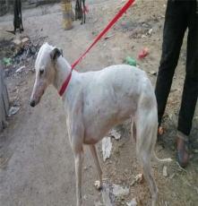 益陽杜高二個月以上犬出售,杜高視頻觀看