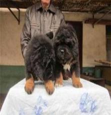 洛陽杜高小幼犬價格,杜高品種,成年杜高