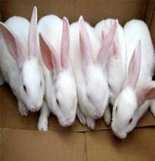 供應各種優質獺兔種兔