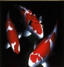 鸚鵡魚批發
