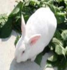 山東獺兔養殖基地山東獺兔價格獺兔養殖前景獺兔養殖利潤大